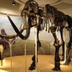 skelet mammoet