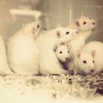 20160118 - thumb - ratten muizen proefdieren